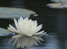 Лилия и пусковые площадки воды Стоковое Изображение RF