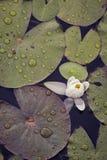 Лилия и пусковые площадки лилии с дождевыми каплями стоковые фотографии rf