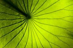 лилия листьев Стоковое фото RF