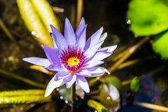 Лилия открытой воды с меньшей мухой внутри цветения стоковые фотографии rf