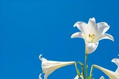 лилия пасхи Стоковые Фотографии RF