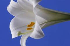 лилия пасхи Стоковое Изображение RF