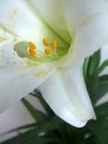 лилия пасхи Стоковые Изображения