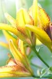 лилия предпосылки стоковое изображение