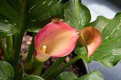 Лилия розового Calla сверху Стоковые Фото