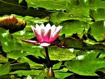 Лилия розовой и белой воды зацветая в солнце Стоковое фото RF