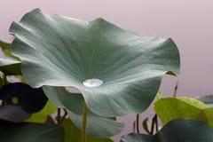 лилия росы Стоковая Фотография RF