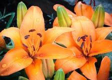 Лилия сада Стоковые Изображения