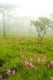 лилия Сиам 2 цветков одичалый Стоковое Изображение RF