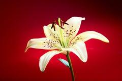 лилия цветка Стоковое Изображение