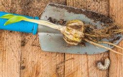 Лилия шарика candidum и личинка жука в мае стоковые фото