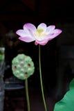 лилия Стоковое Изображение RF