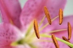 лилия Стоковые Фото