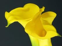 лилия arum стоковое фото