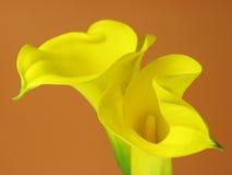 лилия arum стоковая фотография