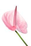 лилия arum Стоковые Фотографии RF