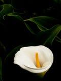 лилия arum стоковые изображения rf