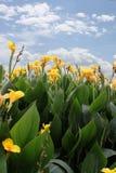 лилия canna Стоковое Изображение RF
