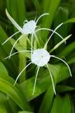 лилия crinum Стоковое Изображение RF