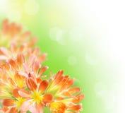 лилия kafir граници флористическая Стоковая Фотография