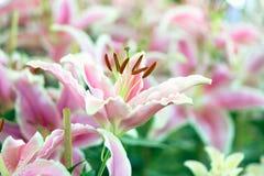 Лилия Lil белая, гибриды лилии зацветая в саде, gardeni Стоковые Фото
