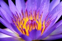 Лиловая лилия воды стоковая фотография rf