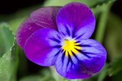 лилово Стоковая Фотография RF