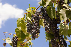 Лиловые виноградины вина Стоковая Фотография RF