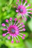 Лиловые цветки сада стоковое изображение rf