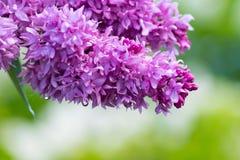 Лиловые цветки сирени Стоковые Изображения RF