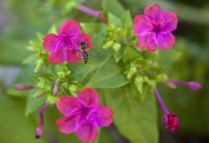 Лиловые цветки Стоковое Фото