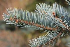 Лимб сини елевый Стоковые Фото