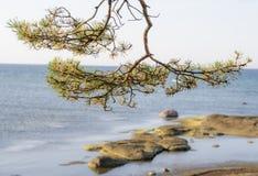 Лимб сосны на море стоковые изображения rf