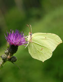 лимоны бабочки стоковая фотография rf