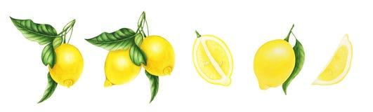 Лимоны и листья и половина лимона, картины акварели Стоковые Фото