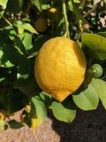 Лимоны на дереве в Аризоне Стоковое Изображение RF