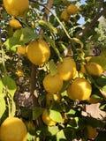 Лимоны на дереве в Аризоне Стоковая Фотография