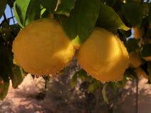 Лимоны на дереве в Аризоне Стоковые Изображения