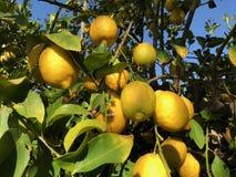 Лимоны на дереве в Аризоне Стоковые Фотографии RF