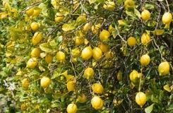 Лимоны на дереве Стоковое Изображение RF