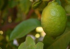 Лимоны около, который нужно созреть на дереве в Аризоне стоковая фотография