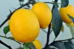 Лимоны растя на дереве лимона Стоковые Изображения