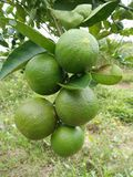 Лимоны фермы в Таиланде стоковые изображения rf