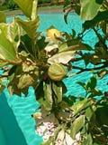 лимоны Стоковые Фотографии RF