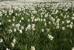 Лимон английского поля daffodil бледный Стоковые Изображения RF