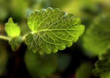 лимон листьев бальзама Стоковые Изображения