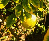Лимон Мейера стоковое фото rf