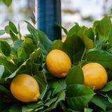 Лимон на вале стоковое изображение rf
