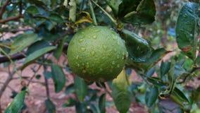 Лимон рутовые известки Sningle цитруса aurantifolia общий Стоковые Изображения RF