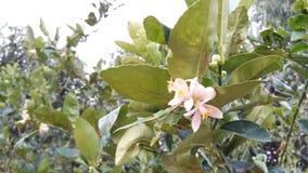 Лимон рутовые известки Sningle цитруса aurantifolia общий Стоковые Фотографии RF
